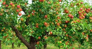 Cây táo thiết sơn